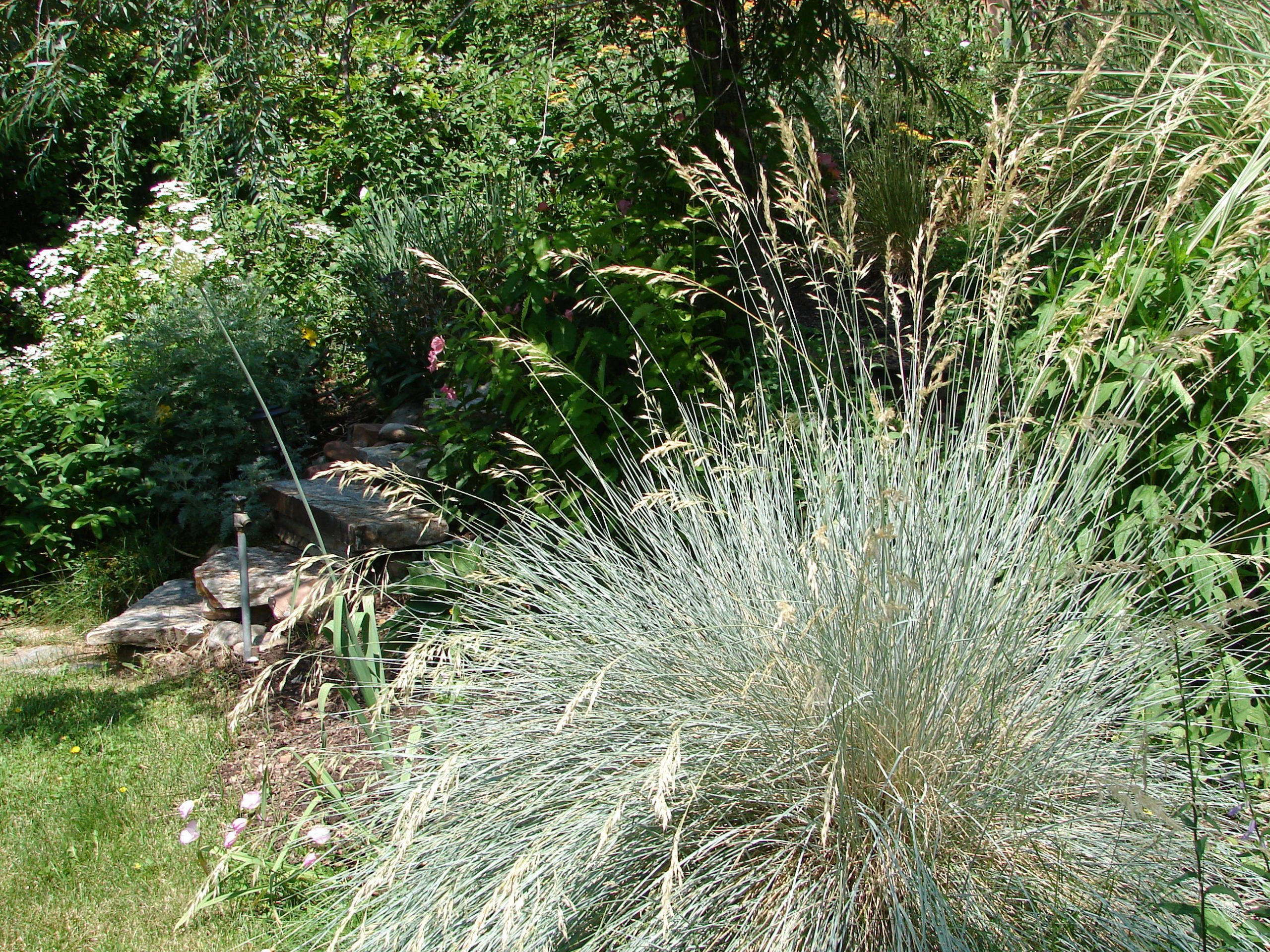 Blue,Oat,Grass,-,Helictotrichon,Sempervirens