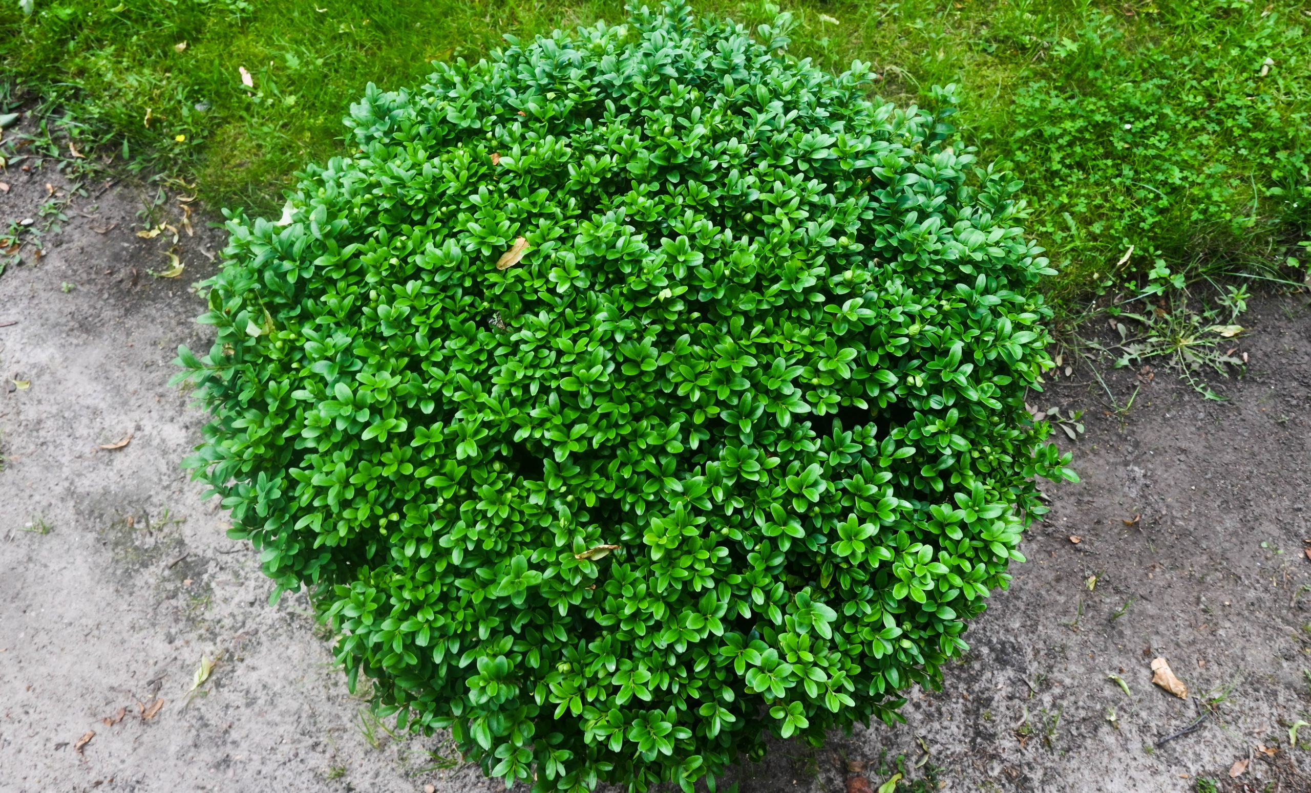 Ball-shaped,Boxwood,Growing,In,The,Park