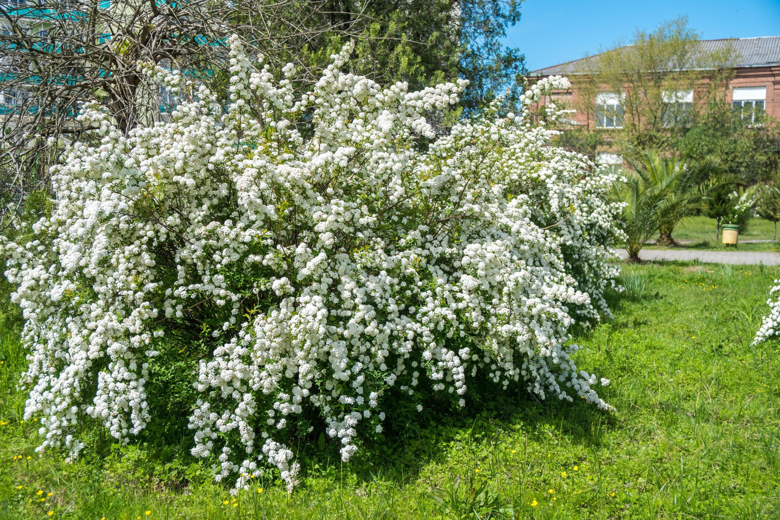 Dewy,Flowering,Shrub,Bridal,Wreath,Spirea,,Floral,Background.