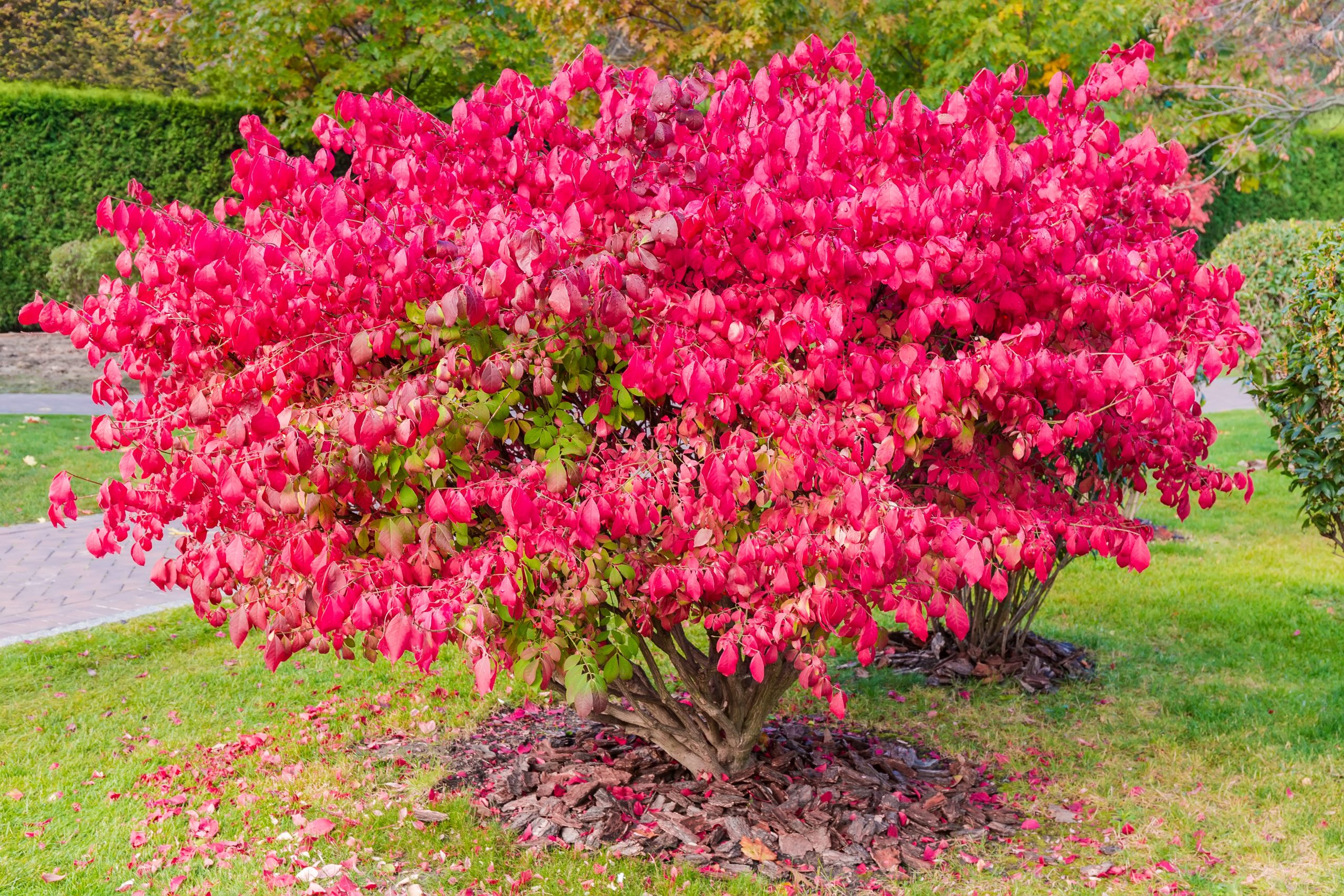 Shrubs,Of,The,Euonymus,Alatus,,Also,Known,As,Winged,Euonymus