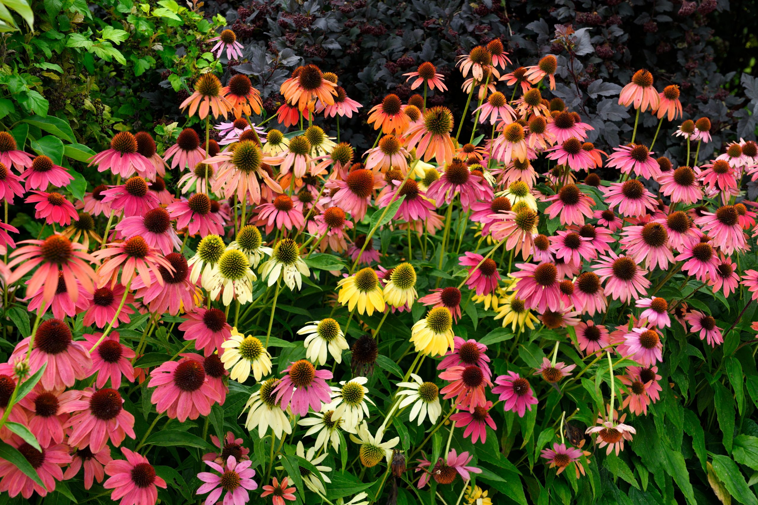 Pink,Orange,And,Yellow,Echinacea,Coneflowers,In,A,Wet,Garden