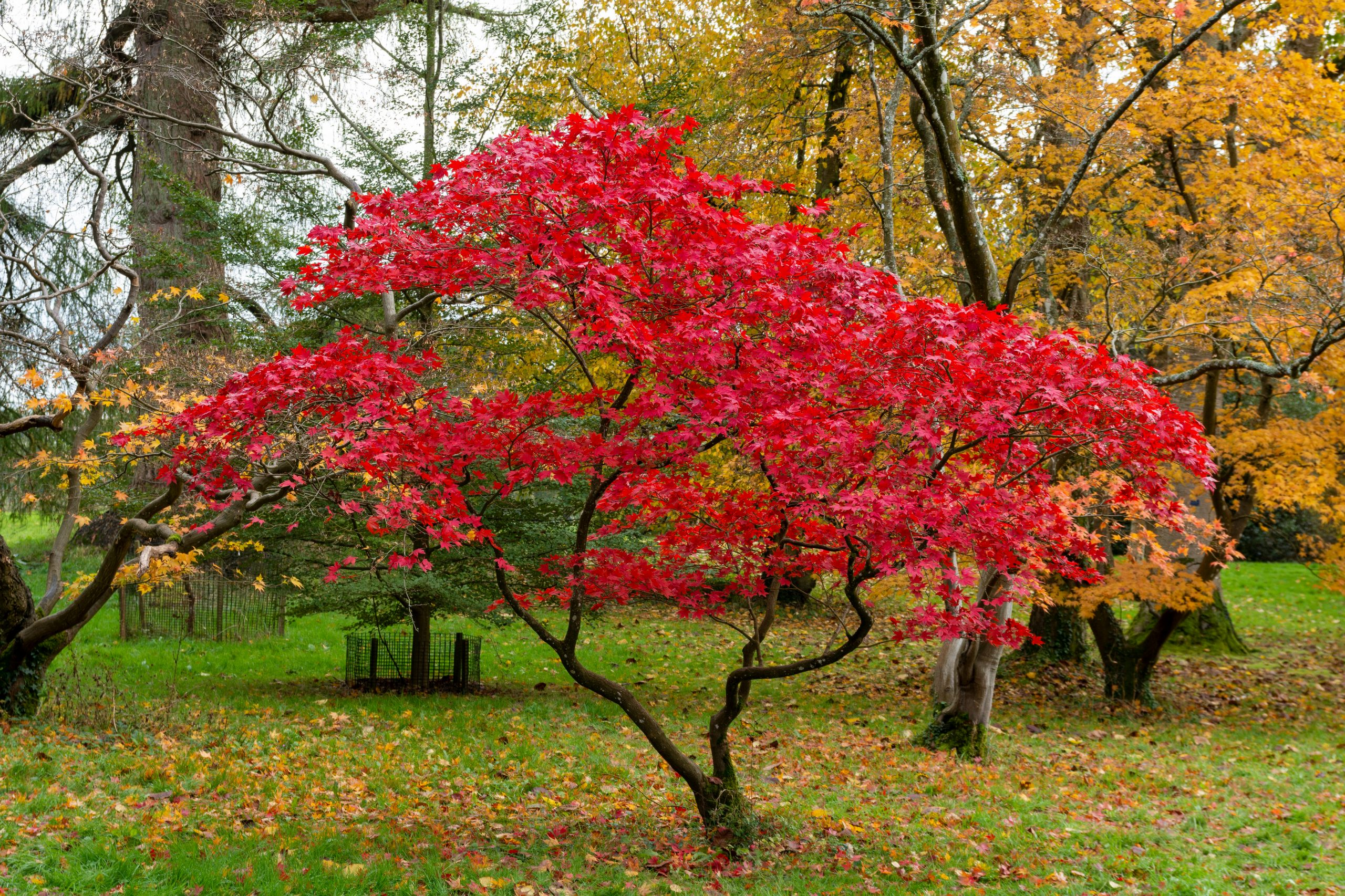 Beautiful,Japanese,Maple,Tree,With,Red,Leaves