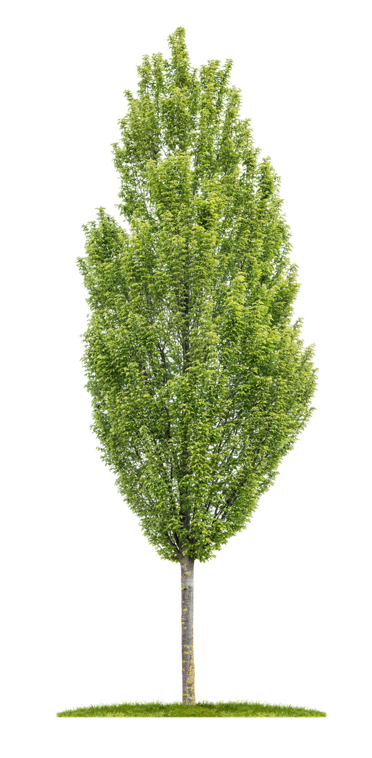 Isolated,Hornbeam,Tree,On,A,White,Background