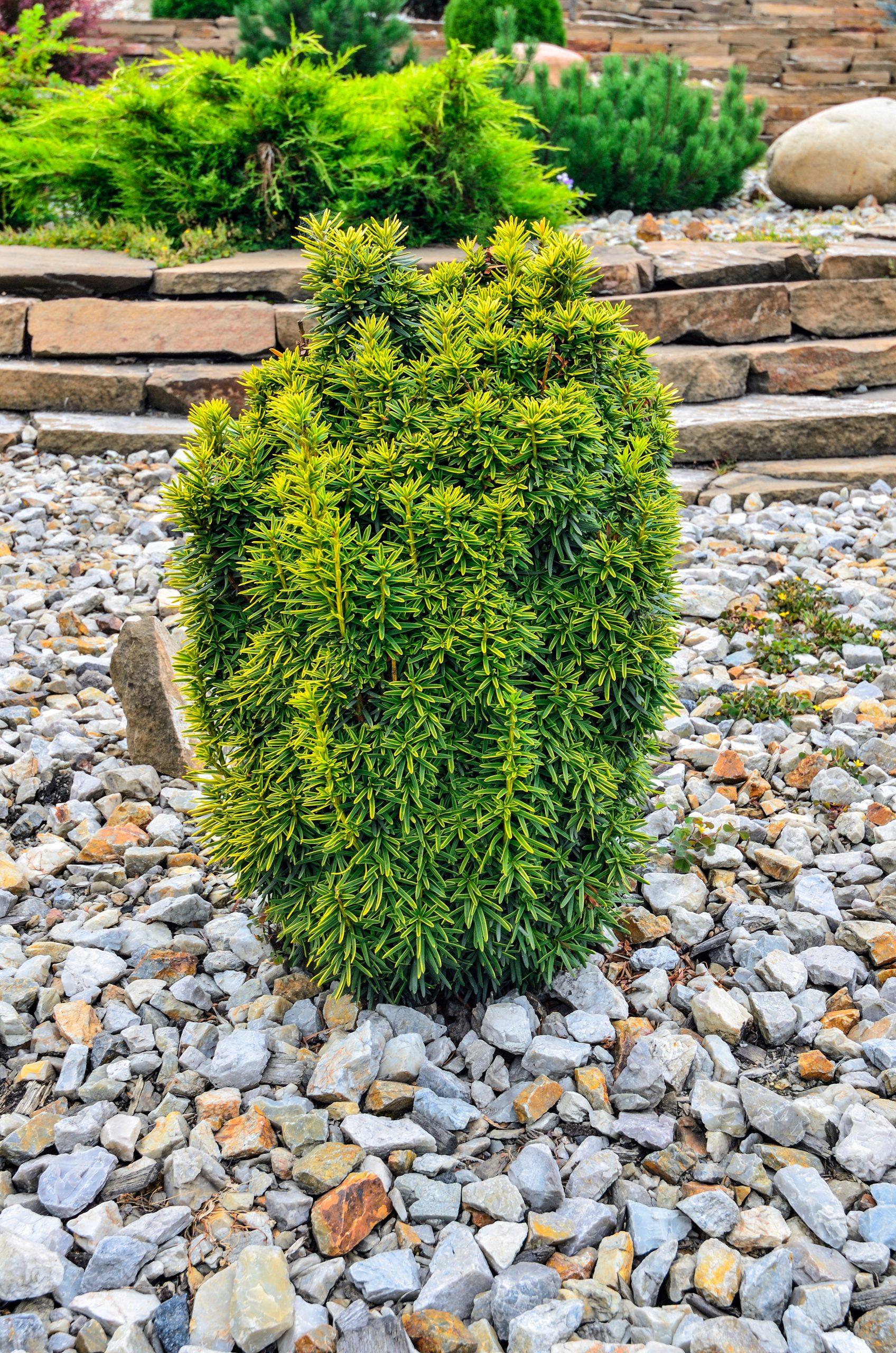Dwarf,Japanese,Yew,(taxus,Cuspidata),With,Variegated,Foliage,Cultivar,'dwarf