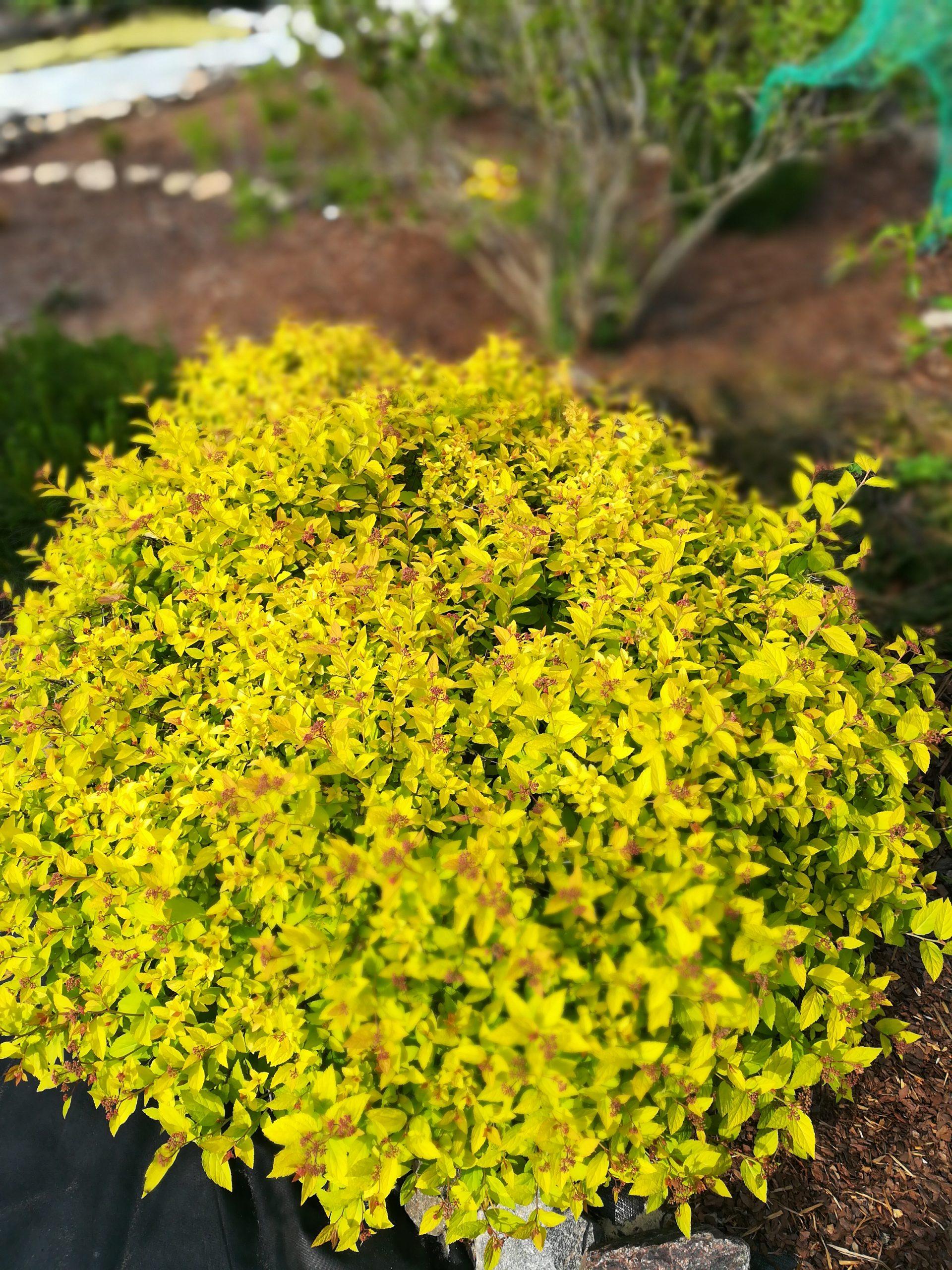 Large,Bright,Yellow,Bush,Spiraea,Japonica,Golden,Princess,Cut,In