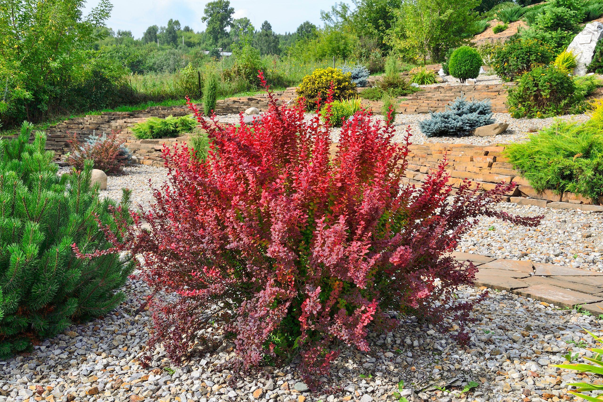 "Cultivar,Thunbergs,Barberry,(berberis,Thunbergii,""red,Rocket""),In,Rocky,Garden."